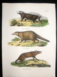 Schinz 1845 Antique Hand Col Print. Stink Badger, Bandicoot 26